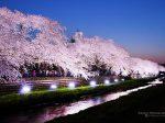 野川 夜桜 ライトアップ 2018